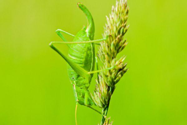 boomsprinkhaan-oak-bush-cricket-meconema-thalassinum1-20141218-1890300903232366BF-66D6-7646-42C8-77A3A3359250.jpg