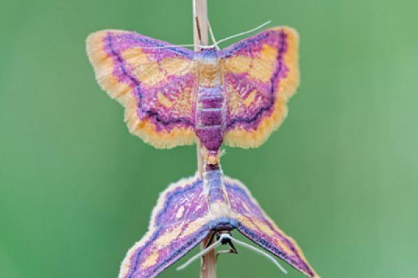 geelpurperenspanner-purple-bordered-gold-idaea-muricata-20141218-157330908723B27FE1-F070-A87A-7840-E58D57C88096.jpg