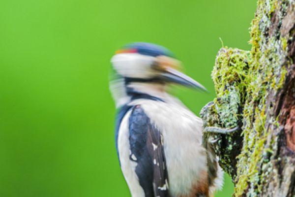 grote-bonte-specht-great-spotted-woodpecker-dedrocopos-major5-20141218-12607538223A5836F9-B2DC-D57C-F5E8-35AE2C981ADB.jpg