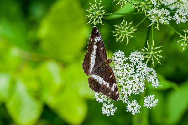 kleine-ijsvogelvlinder-white-admiral-limenitis-camilla-20141218-11522536430905400B-6E30-5966-4530-13B3D38601EC.jpg