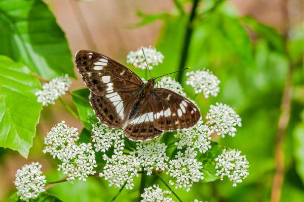 kleine-ijsvogelvlinder-white-admiral-limenitis-camilla2-20141218-14202845375AABDA7A-79BA-0CA3-9AD3-DD6E3DBCEE05.jpg
