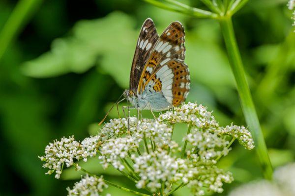 kleine-ijsvogelvlinder-white-admiral-limenitis-camilla3-20141218-1416523757521AF69E-A090-EB35-9753-0C54AD9B54E8.jpg