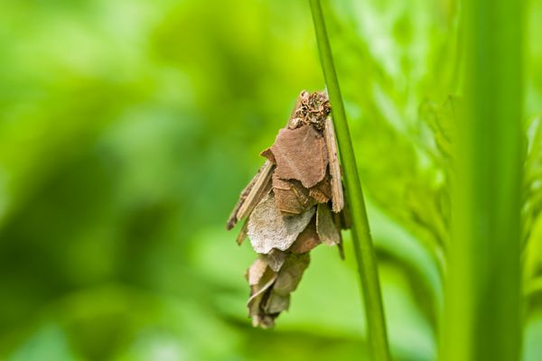 kokerjuffer-caddisflies-trichoptera-20141218-1080908277D61D6236-CEB8-55A0-269C-63B6F2C7C76D.jpg