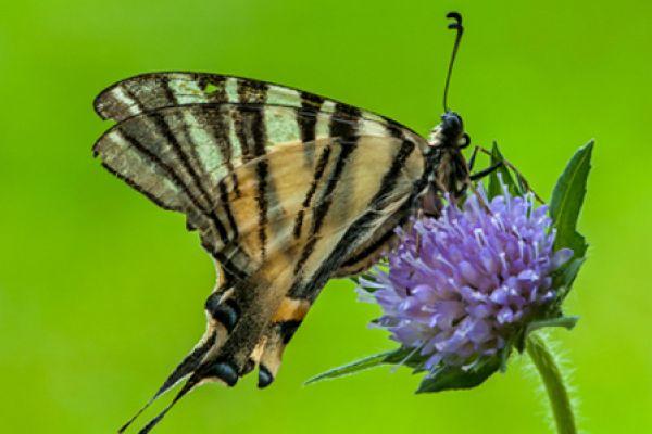 koningspage-scarce-swallowtail-iphiclides-podalirius-20141218-1835228616569D4610-42C3-ED09-8041-C7F68977D9A5.jpg