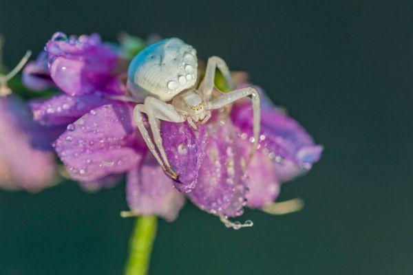 krabspin-crab-spider-thomisidae3-20141218-100650262327735BEE-EA2B-2F91-D90F-FFA8A801A438.jpg