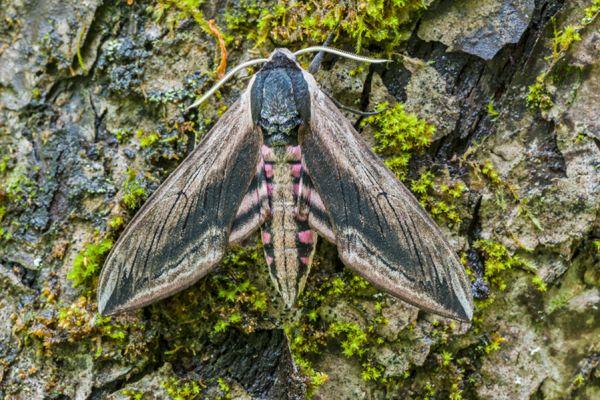 ligusterpijlstaart-privet-hawk-moth-sphinx-ligustri-20141218-19083725381B68DE75-F29D-BB69-5DBF-B3FED614DAEB.jpg