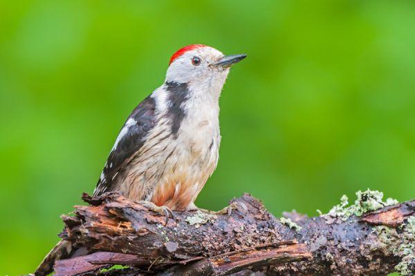 middelste-bonte-specht-middle-spotted-woodpecker-dendrocopos-medius2-20141218-1920957718C28CBB59-D47B-21A9-B6B1-DA7519425A81.jpg
