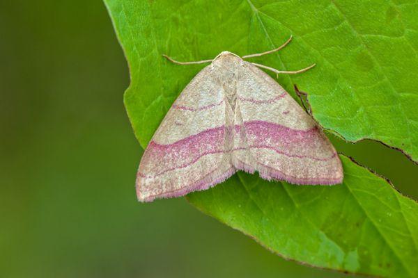 paarbandspanner-common-pink-barred-rhodostrophia-vibicaria-20141218-11230008858FA8F8AA-0C2A-96D3-D112-694CF96DC85C.jpg