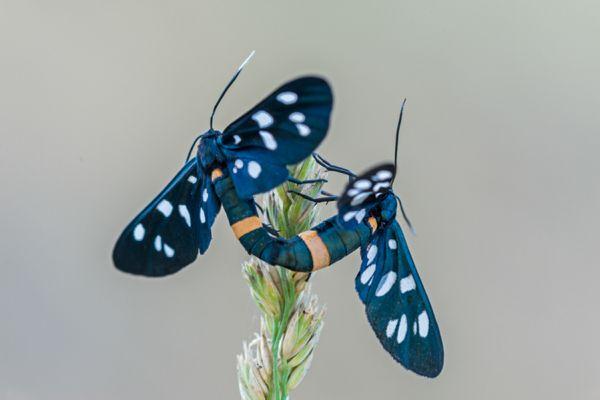 phegeavlinder-nine-spotted-moth-amata-phegea-20141218-1063506680DD018F35-A8E2-5FA8-A7F1-3BCAE3B3B715.jpg