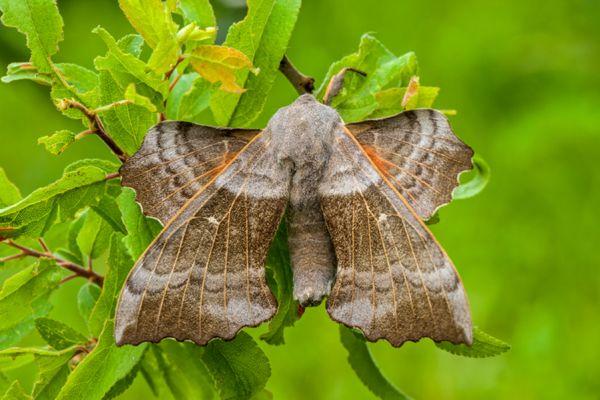 populierenpijlstaart-poplar-hawk-moth-laothoe-populi-20141218-1752225365EA227767-302F-116F-69F1-2A477E5AAB57.jpg