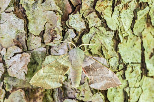 populierenpijlstaart-poplar-hawk-moth-laothoe-populi1-20141218-11970296832615A17A-CEE3-0AF6-432C-61DADF88E35A.jpg