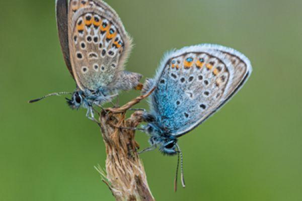 silver-studded-blue-plebejus-argus1-20141218-1333995952F32DEB35-AAF1-9479-F747-FC95C9C9209E.jpg