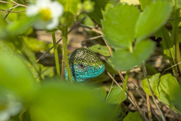 smaragd-hagedis-european-green-lizard-lacerta-viridis-20141218-15913239508072D3E9-E782-4B4A-B5DE-D6F045C8EAEB.jpg