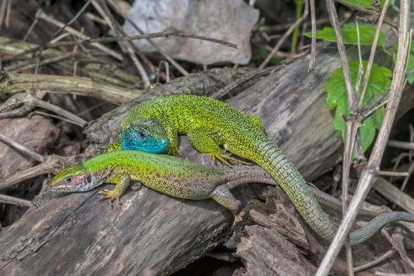 smaragd-hagedis-european-green-lizard-lacerta-viridis1-20141218-17894352913BF7CB95-804A-E0D7-FEBF-4CFA46367C13.jpg