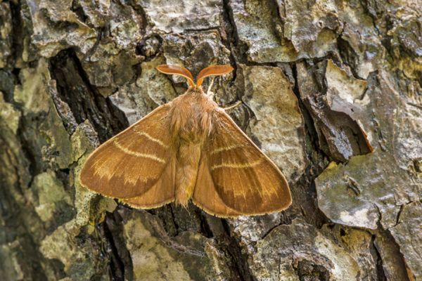veelvraat-fox-moth-macrothylacia-rubi-20141218-1505785298F39EF026-8BBC-6FA7-15AE-2C3F51F4D3A7.jpg