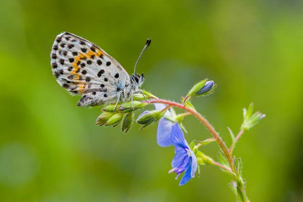 vetkruidblauwtje-chequered-blue-butterfly-scolitantides-orion-20141218-10644793952D92B3DA-9014-713C-14D8-D04E9D55D5C1.jpg