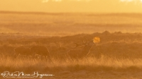 Edelhert-Red Deer-Rothirsch-Cervus elaphus-