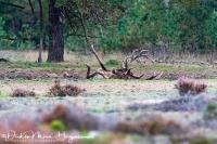 Edelhert-Cervus elatus in modderbad-Red Deer in mud bath-Rotwild im Schlammbad-Nikon D500+500mm F4 1:1000sec. F4 ISO 900
