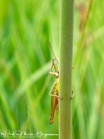 Zoemertje- Stripe-winged Grasshopper-Heidegrashüpfer-Stenobothrus lineatus-Olympus TG5-100mm-1:400sec F4,9 ISO400