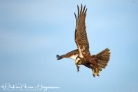 Bruinekiekendief-Marsh Harrier-Rohrweihe-Circus aeruginosus
