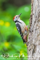 middelste_bonte_specht_middle_spotted_woodpecker_dendrocopos_medius1_20141218_1663538368