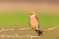 roodpootvalk_red-footed_falcon_falco_vespertinus_female_20141218_1504153800