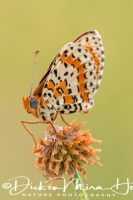 tweekleurige_parelmoervlinder_spotted_fritillary_or_red-band_fritillary_melitaea_didyma_20141218_2093477644