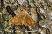 veelvraat_fox_moth_macrothylacia_rubi_20141218_1505785298
