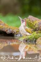 groene_specht_green_woodpecker_picus_viridis3_20141218_1907077764