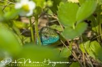 smaragd_hagedis_european_green_lizard_lacerta_viridis_20141218_1591323950