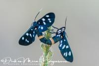 phegeavlinder_nine-spotted_moth_amata_phegea_20141218_1063506680