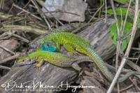 smaragd_hagedis_european_green_lizard_lacerta_viridis1_20141218_1789435291