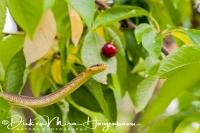 esculaapslang_aesculapian_snake_zamenis_longissimus2_20141218_1737493497