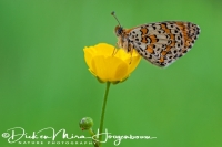 tweekleurige_parelmoervlinder_spotted_fritillary_or_red-band_fritillary_melitaea_didyma1_20141218_1468623800