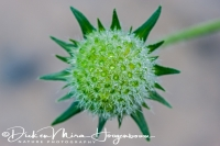 beemdkroon_commonly_field_scabious_knautia_arvensis__20141218_1683682835