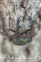 vliegend_hert_stag_beetle_lucanus_cervus1_20141218_1687723865