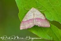 paarbandspanner_common_pink-barred_rhodostrophia_vibicaria_20141218_1123000885