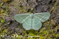 smaragdgroene_zomervlinder_small_grass_emerald_chlorissa_viridata_20141218_1351940166