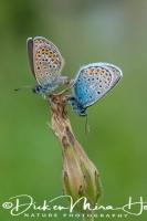 silver-studded_blue_plebejus_argus1_20141218_1333995952
