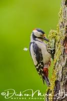 grote_bonte_specht_great_spotted_woodpecker_dedrocopos_major3_20141218_1304895448