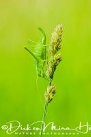 boomsprinkhaan_oak_bush-cricket_meconema_thalassinum1_20141218_1890300903