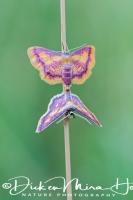 geelpurperenspanner_purple-bordered_gold_idaea_muricata_20141218_1573309087