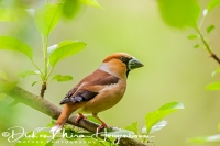 appelvink_hawfinch_coccothraustes_coccothraustes2_20141218_1324769194