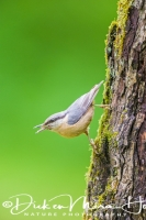 boomklever_boomklever_wood_nuthatch_sitta_europaea1_20141218_1141950840
