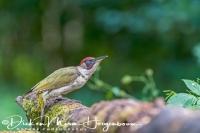 groene_specht_green_woodpecker_picus_viridis1_20141218_2083235763