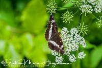 kleine_ijsvogelvlinder_white_admiral_limenitis_camilla_20141218_1152253643