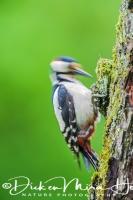 grote_bonte_specht_great_spotted_woodpecker_dedrocopos_major5_20141218_1260753822
