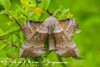 populierenpijlstaart_poplar_hawk-moth_laothoe_populi_20141218_1752225365