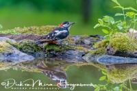 grote_bonte_specht_great_spotted_woodpecker_dedrocopos_major_20141218_1089330274