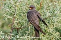 roodpootvalk_red-footed_falcon_falco_vespertinus_male_20141218_1086840145